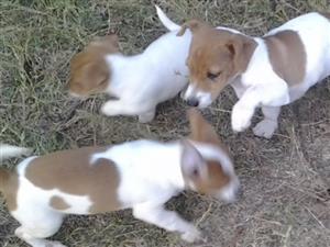 Jack Russell's pute breed eight weeks