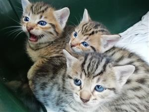 Blue Eyed Kittens for Sale