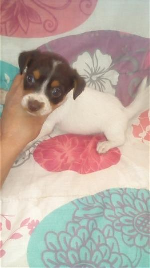 Beautiful Jack Russell X Yorkie puppies for sale.