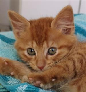 Adopt Gulliver and let the adventures begin! A CatzRus rescue kitten.