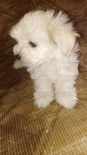Small type Maltese  puppies
