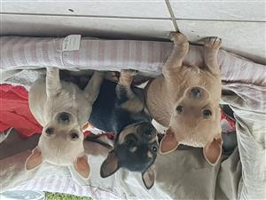 Chihauhau puppies