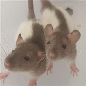 Pet Rats for Sale