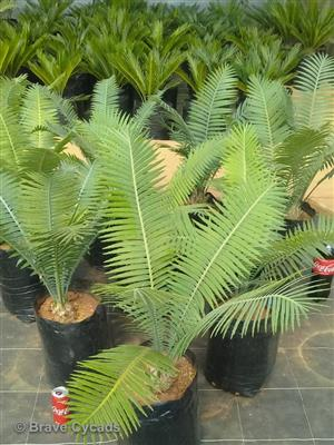 Dioon Spinulosum — Gum Cycad — Giant Dioon
