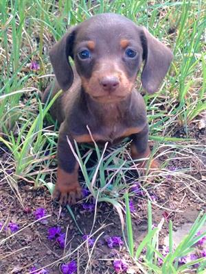 Pedigreed Miniature Daschund Worshonde