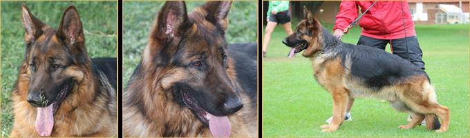 Beautiful Registered GSD Puppies
