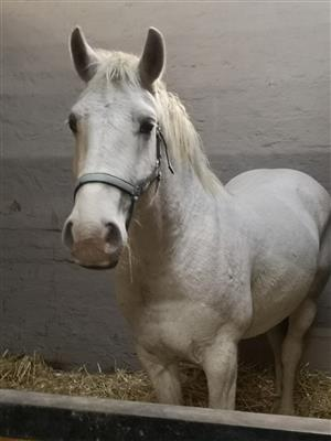 Percheron Sport horse