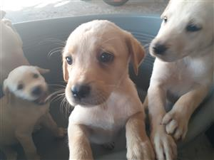 Labrador pups for sale R2500