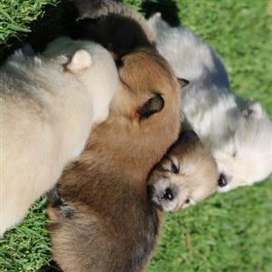 toypom mini puppies