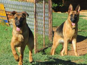 3 x 14 month old German Shepherds , and 1 x 3 year old female for sale