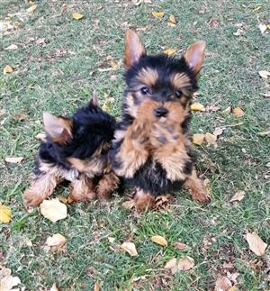 Miniature size Female Yorkie puppies