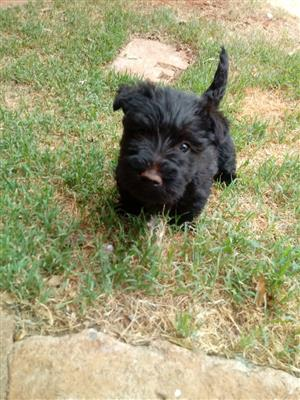 scotties terrier puppy