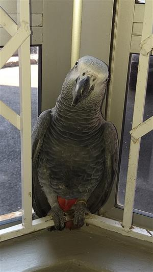 Lost African grey parrot