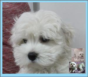 Miniature Maltese Pup