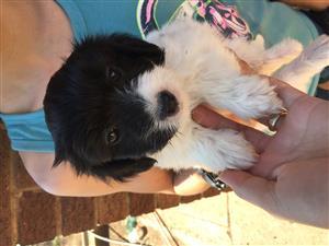Maltese poodle female