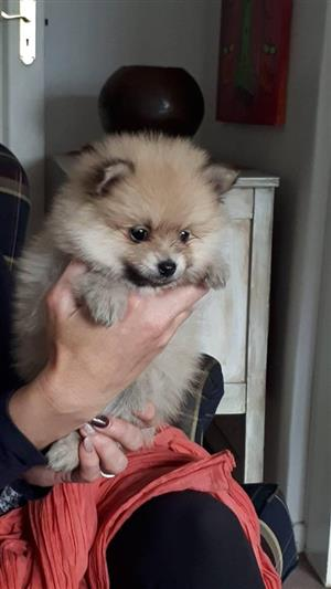 Pure Bred Toypomeranium female Puppies for sale. Dewormed and vaccinated