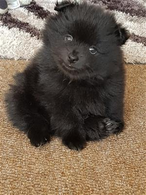 Toy Pom male puppy black
