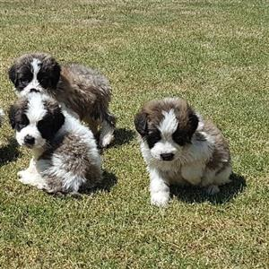 St. Bernard little teddies