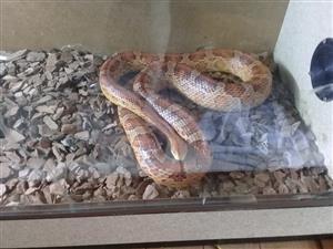 3 snakes bargain