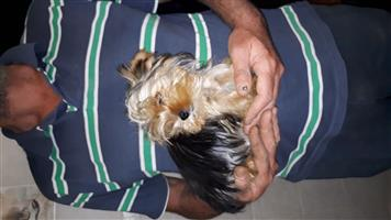 Traditional yorkie