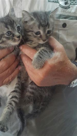 Mayne Coon cross Bengal kittens