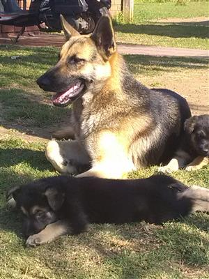Pedigree German Shepherd Puppies,Males and Females