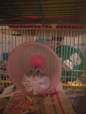 Dwarf hamsters and cages for sale
