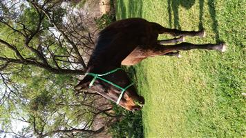Beautiful horses looking for a home (separately or together)