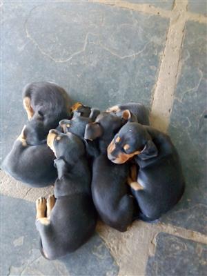 Dachshund puppies