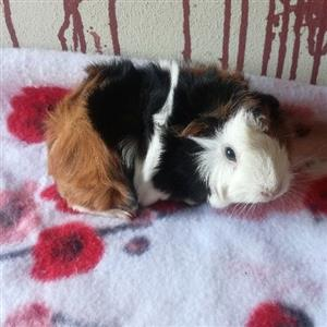 baby Dwarf rabbits & baby guinea pig