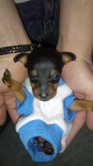 Miniature pincher puppy