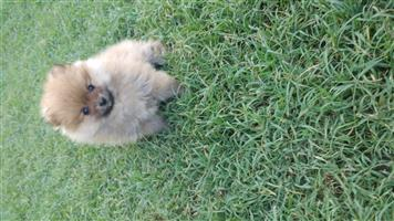 Pocketsize and miniatureToypom ( Pomeranian )
