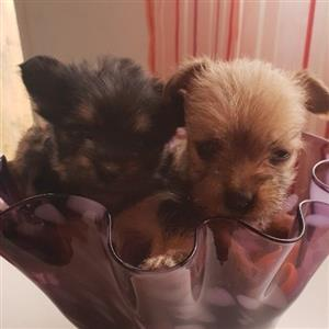 yorkie pocket puppies