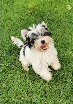 Biewer Female Yorkie puppy