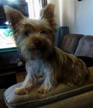 yorkie 7 month old male