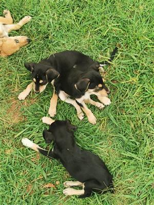 Miniature Doberman x Jack Russell puppies