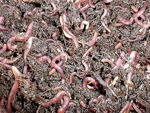 Red worms for worm tea Fertilizer