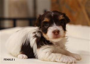 Exotic Yorshire terrier puppies