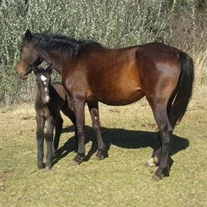 SA Boerperd mare with Percheron colt foal