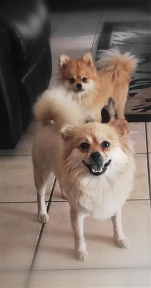 Toypom puppies