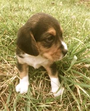 Beagle puppies now available