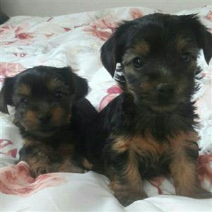 Beautiful small type yorkie girls