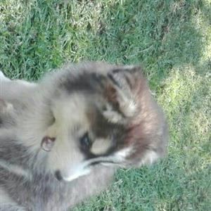 9 week old husky