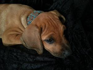 RHODESIAN RIDGEBACK PUPPIES NO RIDGES