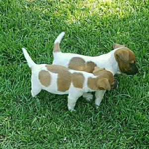 Jack Russell puppies from registered parents
