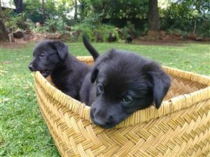 Lovely German Shepherd X Labrador puppies for sale!