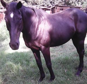 Thoroughbred gelding for sale