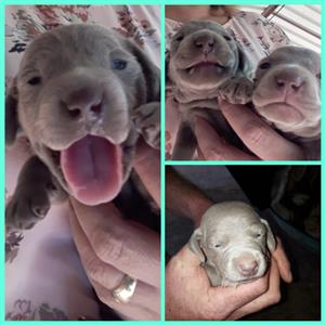 Weimaraner Puppies For Sale 6 weeks old, ready at 8 weeks old- only 3 left