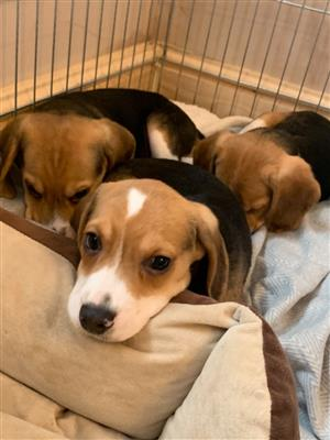 Registered Beagle puppies for sale