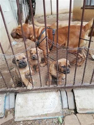 3 male bull mastiff puppies for sale.